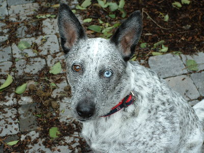 Blue Heeler Red Heeler Halls Heeler And Australian Heeler | Dog Breeds ...